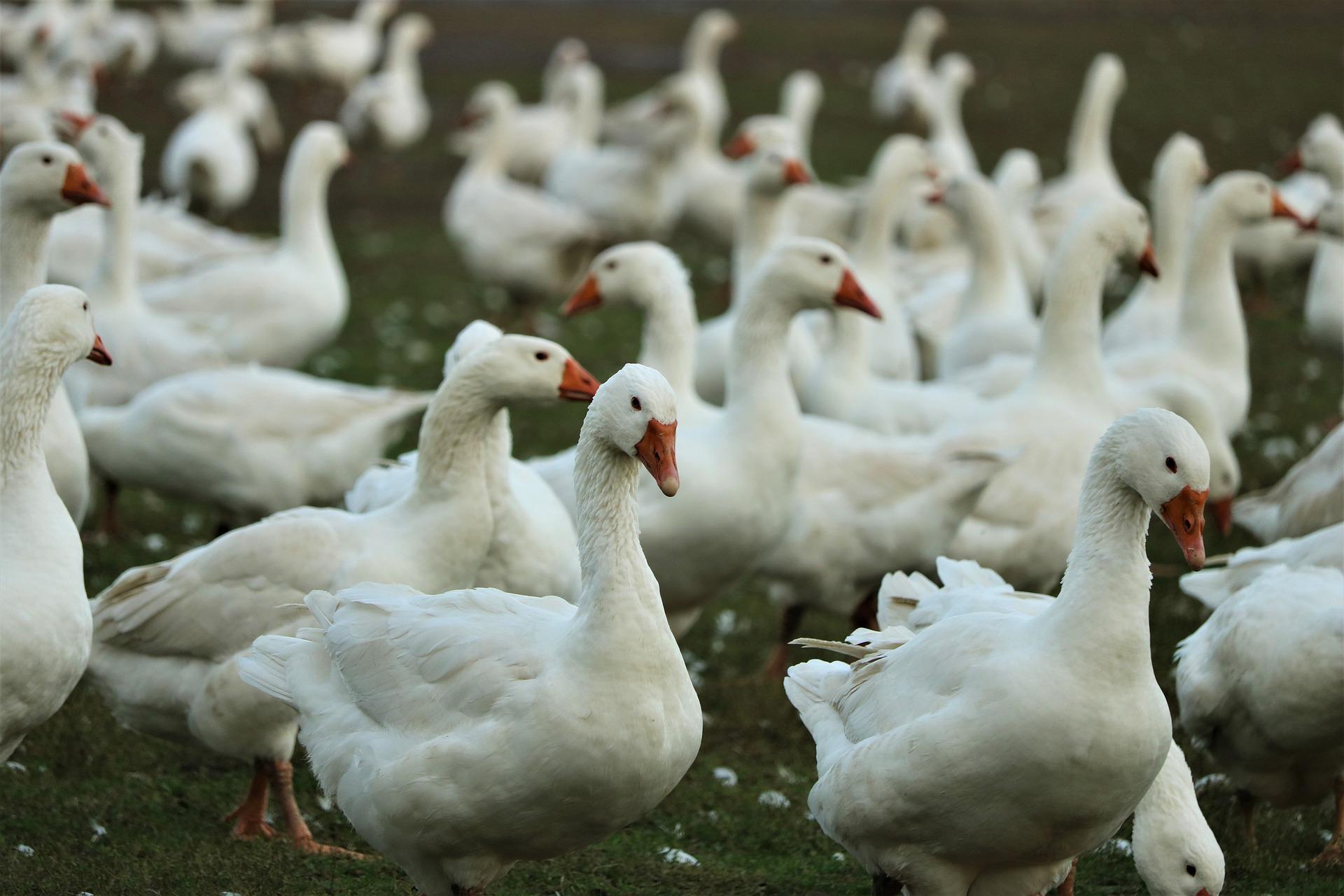 Ilustracja do informacji: Ptasia grypa zaatakowała powiat żarski